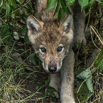 Timber Wolf Pups by WolvesOnly
