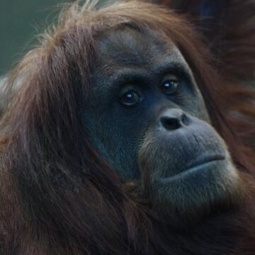 Orangutan by punkymonkey