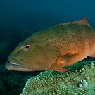 Coral Trout by Ross Gudgeon
