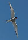 Arctic Tern Turn by Steve Bulford
