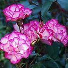 Tabriz, a dazzling rose. by Marjorie Wallace
