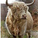 Highland Bull. Duirinish. Scottish Highlands. by PhotosEcosse