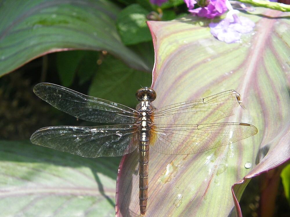 Dragon fly by Sharon Edmunds