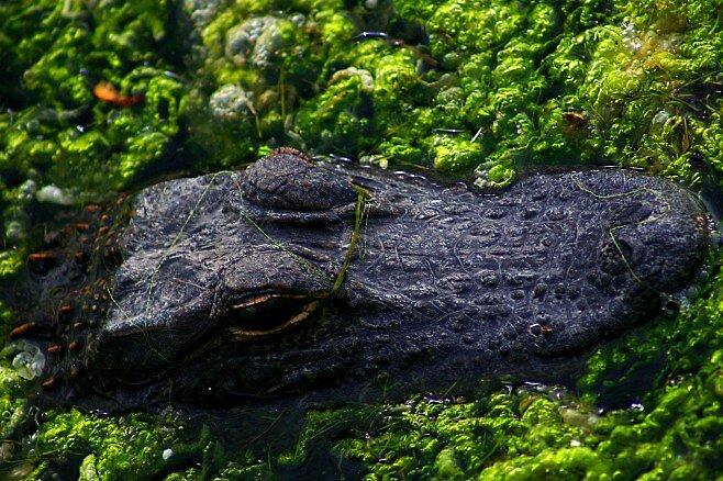 Little Gator in Warm January Water by Dennis Blauer