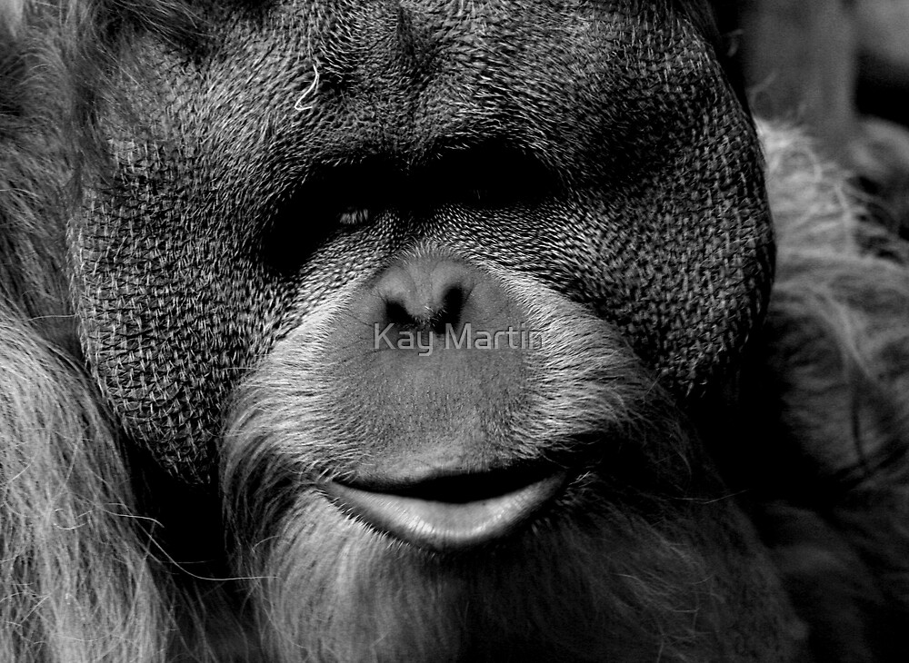 Sumatran Orangutan at Portland's Zoo by Kay Martin