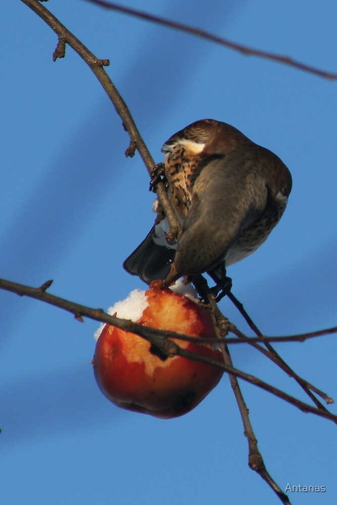 Bird and apple by Antanas