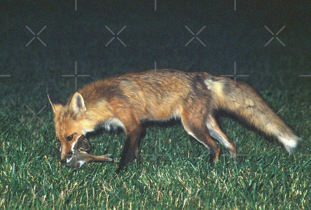 Fox with Rabbit by Bill Spengler