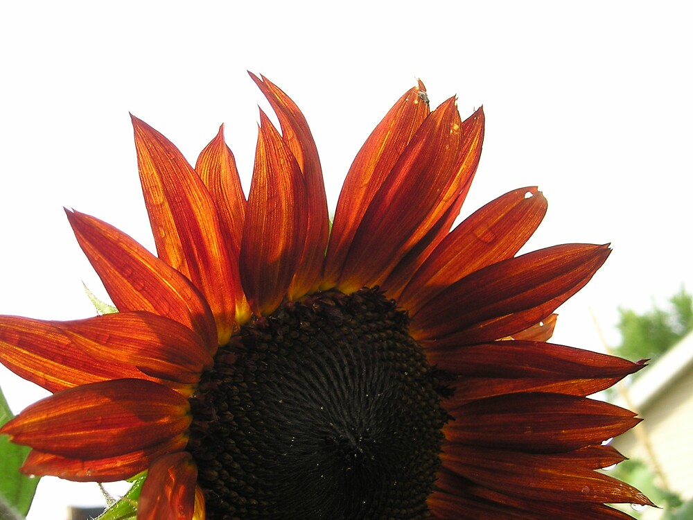 Sunflower by Wendi Strang-Frost