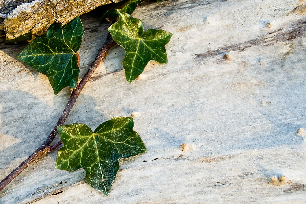 Frozen ivy by Lars Clausen