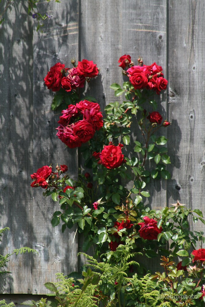 Red Roses by jukeboxphoto