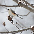 Snowy Tufted Titmouse by Gretchen Dunham