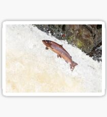 Leaping Atlantic salmon salmo salar Sticker