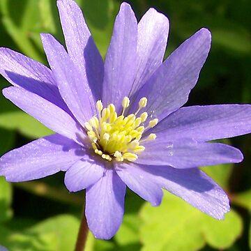 Lilac by sjmphotos