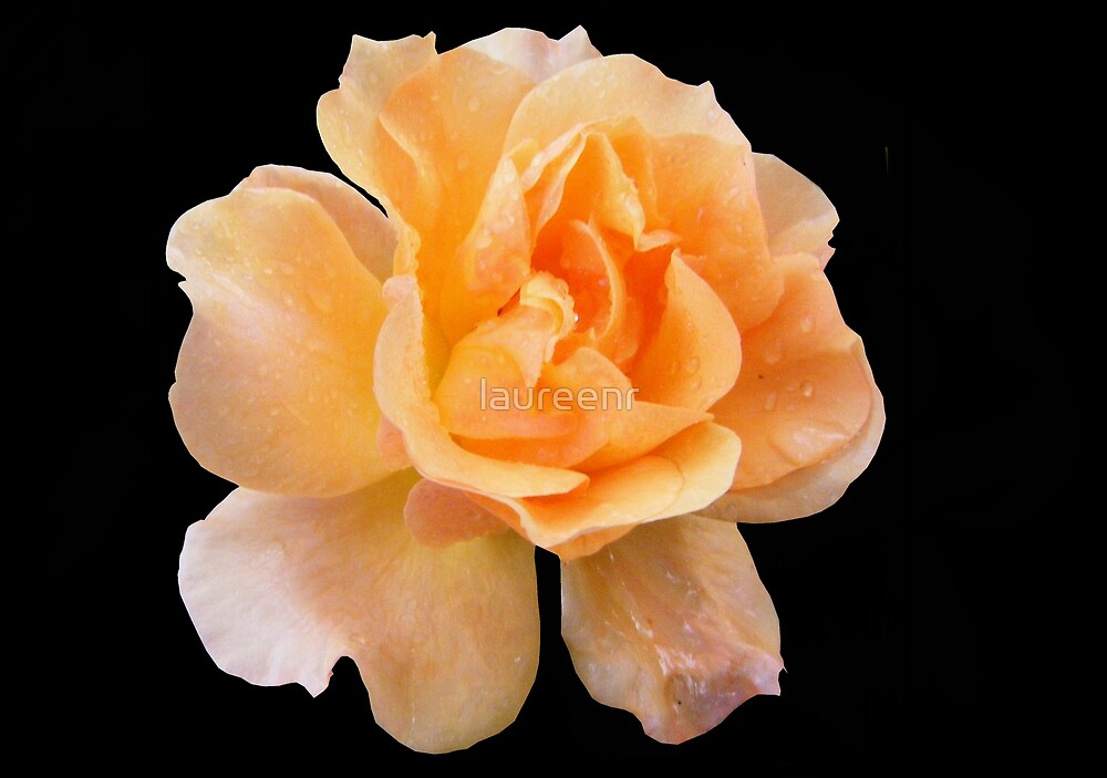 Rose by laureenr