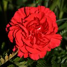 a beautiful carnation by memaggie