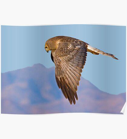 Same Harrier Different Pose Poster