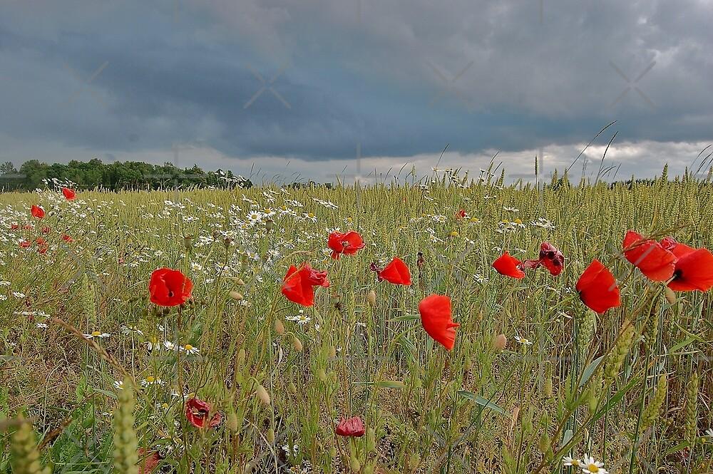 Field of Poppies by loiteke