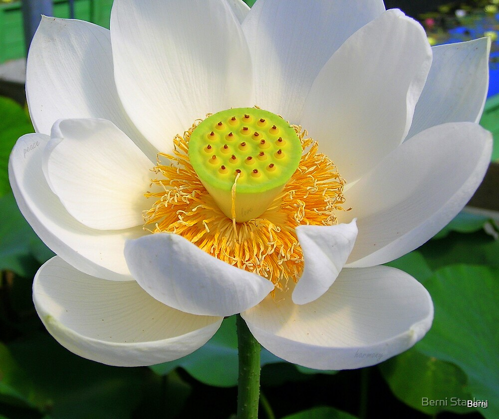 Peaceful Lotus by Berni Stanley