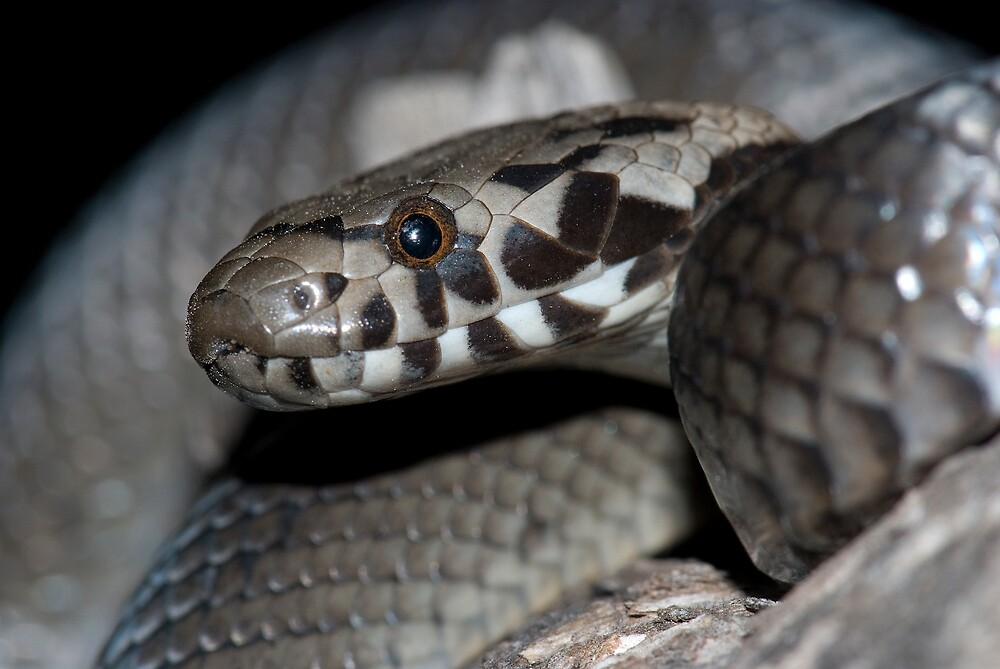 Pale-headed snake (Hoplocephalus bitorquatus) by herpetofauna