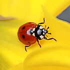 Ladybird & Daffodil by AnnDixon
