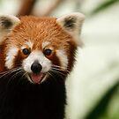 Red Panda by David de Groot