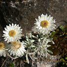 Alpine Daisy by Melanie Roberts