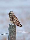 Short-eared owl in winter by Jim Cumming