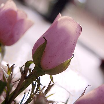 Pretty Pink Roses by divine9