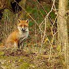 Urban red fox by Simon-dell