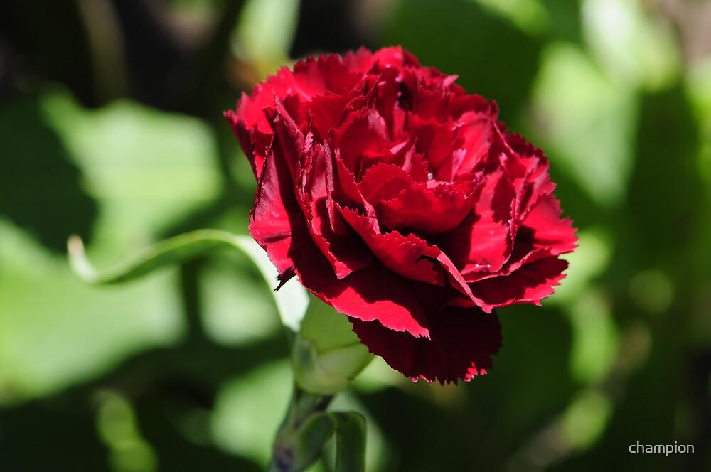 Carnation Anybody? by champion
