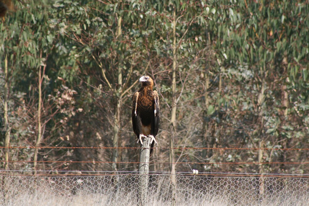 Wedge-Tail Eagle by davidellis