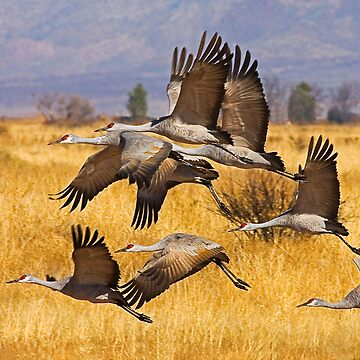 Sandhill Cranes by mcollins