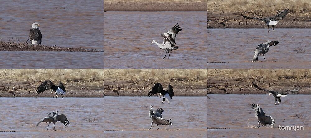 Bald Eagle & Sandhill Crane by tomryan