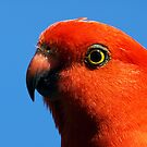 King Parrot - regular visitor to my garden- Drouin by Bev Pascoe