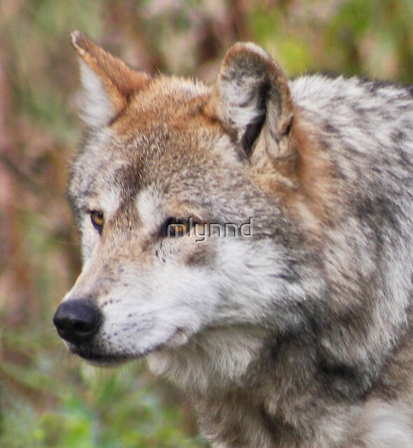 MEXICAN GREY WOLF by mlynnd