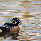 Wood Duck on Gold and Silver by TJ Baccari Photography