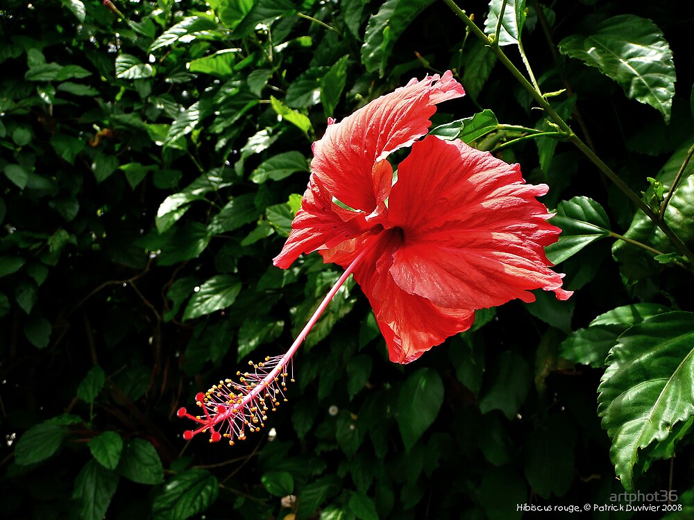 red hibiscus by artphot36