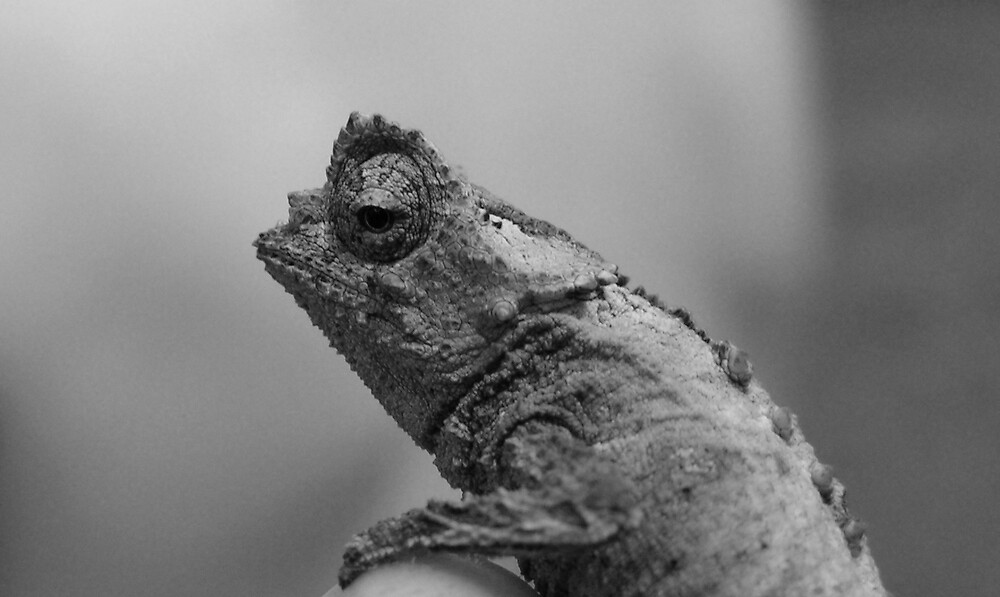 Spiny Leaf Chameleon: Up close and personal! by Ollie de Brett