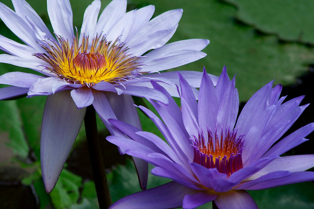 blue water lilies by Sol Whiteley