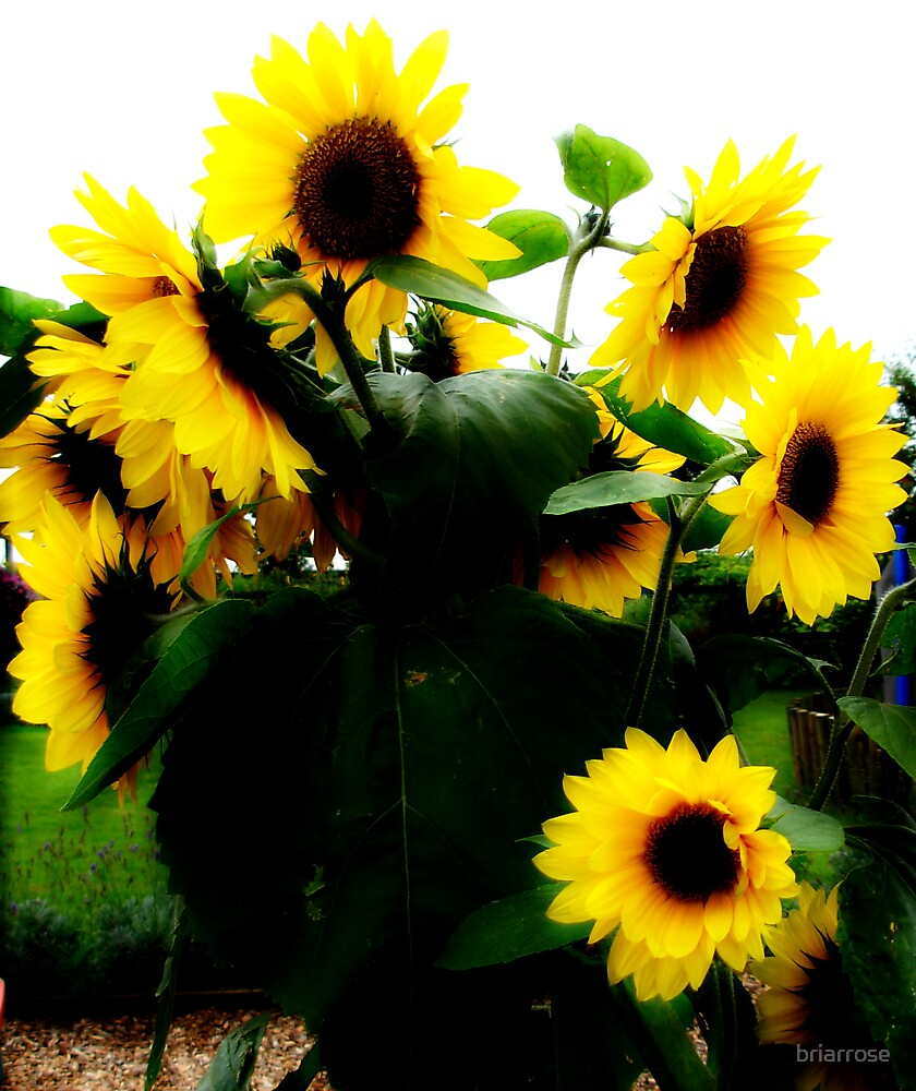 sunflowers by briarrose