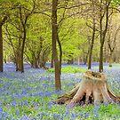 Bluebell stump by DaleReynolds