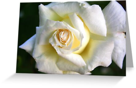 White Rose: Purest Love by Laurel Talabere