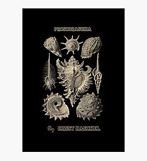 """Prosobranchia"" from ""Art Forms of Nature"" by Ernst Haeckel Photographic Print"
