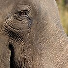 Indian Elephant by Steve Bulford