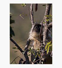 Langur Monkey Gazes Photographic Print