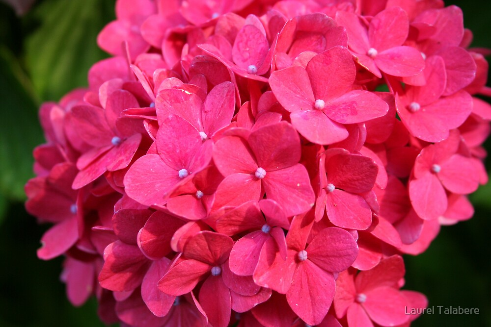 Red Hydrangea by Laurel Talabere