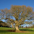 A grand old tree by peteton
