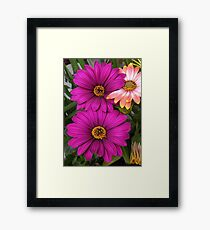 Beautiful pink daisies Framed Print