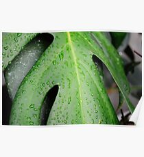 Raindrops on cutleaf philodendron Poster
