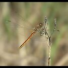 Dragonfly by Shaun Swanepoel
